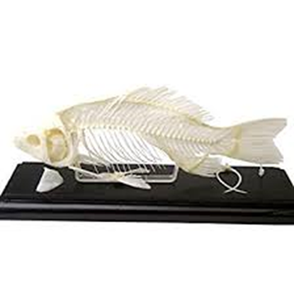 Picture of 51001 - Fish Skeleton
