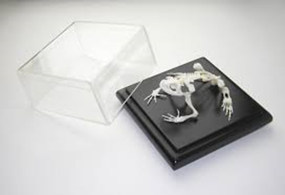 Picture of 51002 - Toad Skeleton