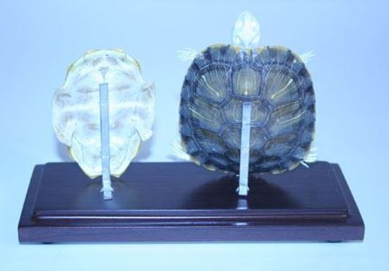Picture of 51005-N - Turtle Skeleton, Natural Shell (Large)