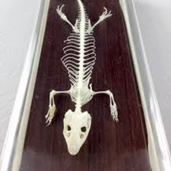 Picture of 51007 - Lizard Skeleton
