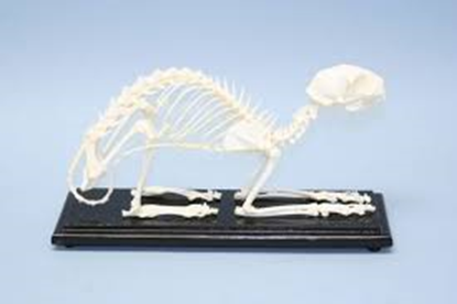 Picture of 51009 - Cat Skeleton