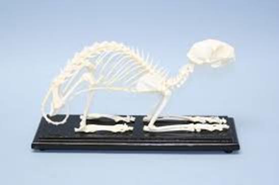 Picture of 51009-U - Cat Skeleton, Unmounted