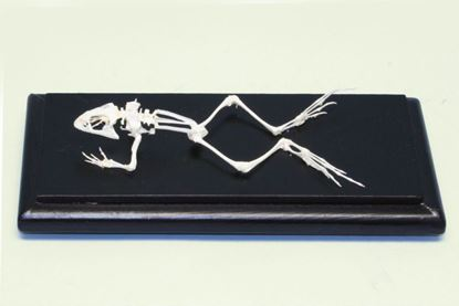 Picture of 51011 - Bullfrog Skeleton