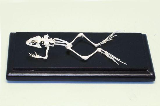 Picture of 51011 - Bullfrog Skeleton