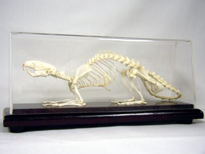 Picture of 51012 - Rat Skeleton