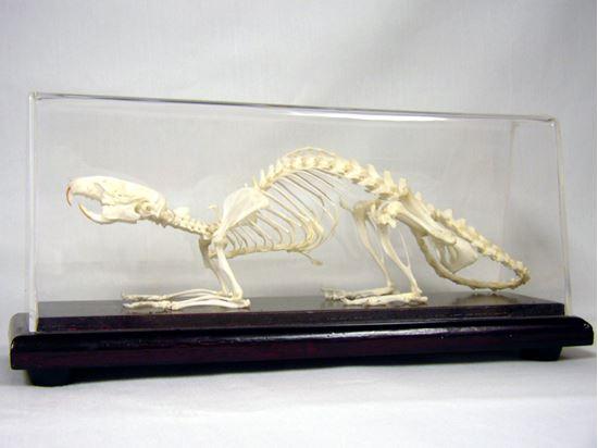 Picture of 51012-U - Rat Skeleton, Unmounted