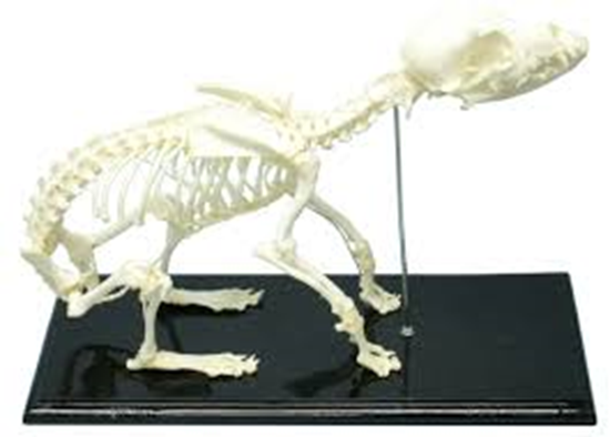 Picture of 51014 - Dog Skeleton
