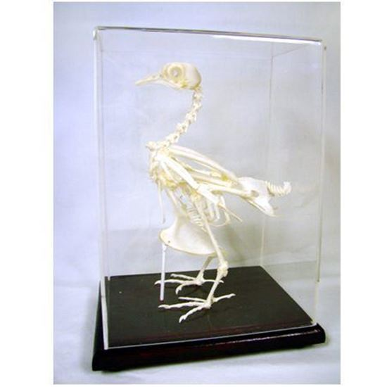 Picture of 51003 - Pigeon Skeleton
